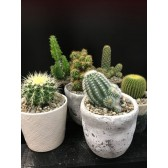 Large Cacti